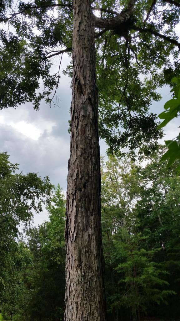 Spiral lightning scar runs top to bottom of now dead tree