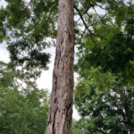 Tree shows lightning damage over most of the trunk top to bottom