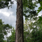Spiral lightning scar runs top to bottom of now dead tree